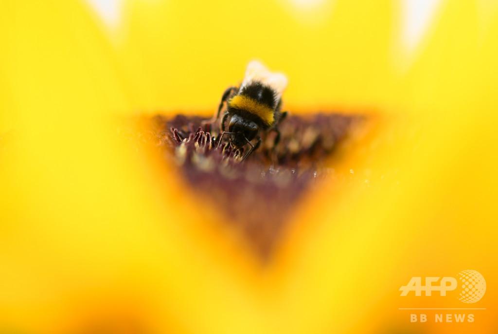 ハチの繁殖能力、現在のチェルノブイリレベルの放射線被ばくで低下 研究