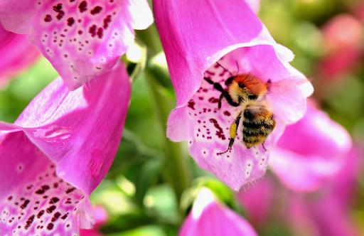 欧州のマルハナバチ種、4分の1で絶滅の危機 研究