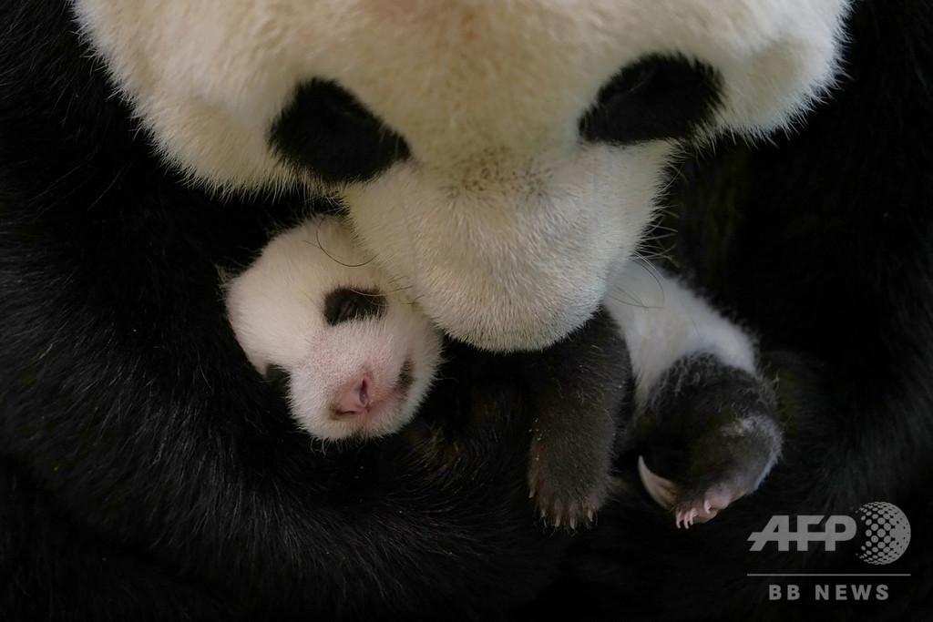 台北動物園でベビーブーム パンダやセンザンコウの赤ちゃん、コロナ禍に光