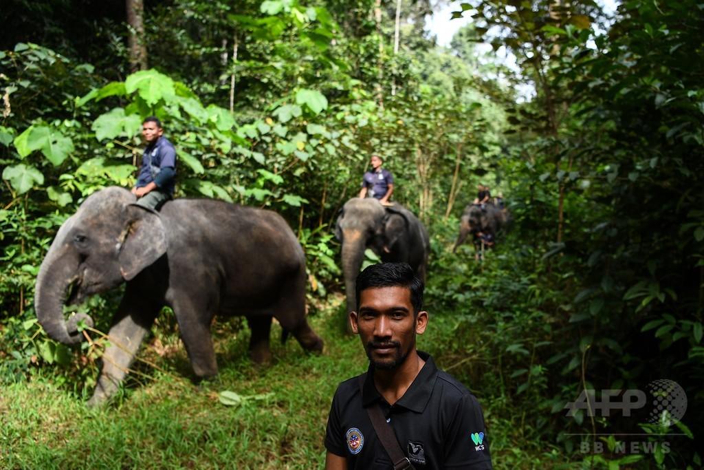 人と野生動物の衝突を減らせ、ゾウ部隊が一役 マレーシア
