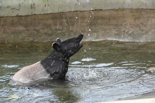 マレーバクの赤ちゃんが水遊び まだまだら模様も