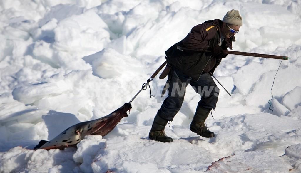 カナダ議員、アザラシ猟禁止法案を提出 支持得られず廃案か