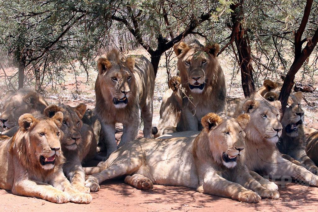 ライオンの群れ、サイの密猟者たちを食べる 南ア