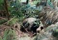 「起こさないでそっとして」野生ジャイアントパンダ、民家敷地でお昼寝 中国・四川