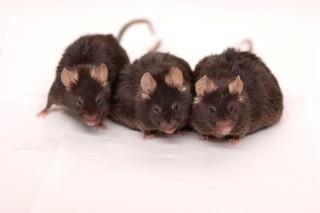 ネズミの陰茎、雄だけの環境で育つと太くなる 豪研究