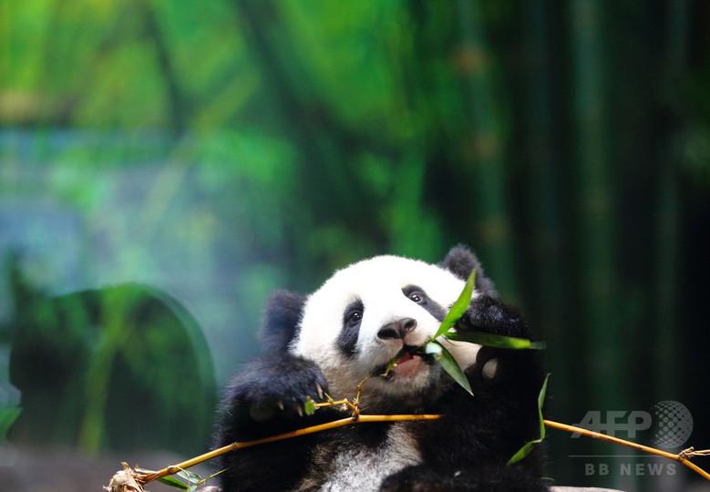 中国のパンダ、個体数回復も生息地は縮小 局所的絶滅の恐れも 研究