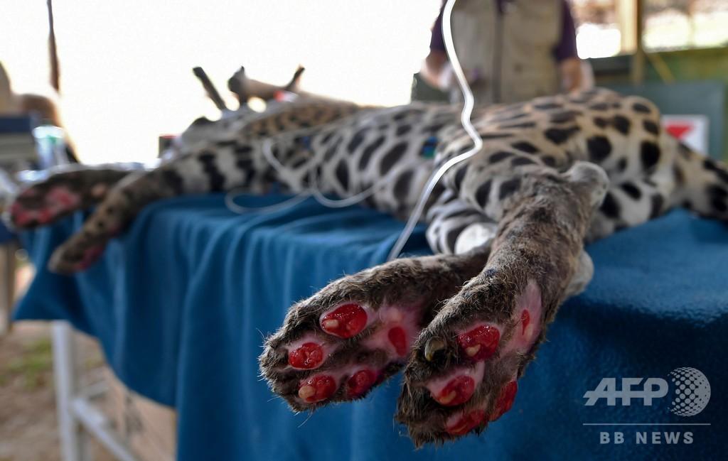 ブラジル大湿原火災でやけど、ジャガーに幹細胞療法