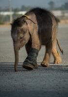 前脚の一部失った生後6か月のゾウ、水中歩行訓練に挑戦 タイ