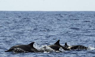 イルカ、水族館より野生の方が病気がち 米研究