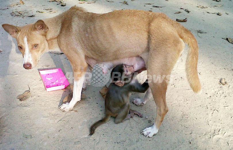 犬のミンチュ、赤ちゃん猿の母親代わりに バングラデシュ