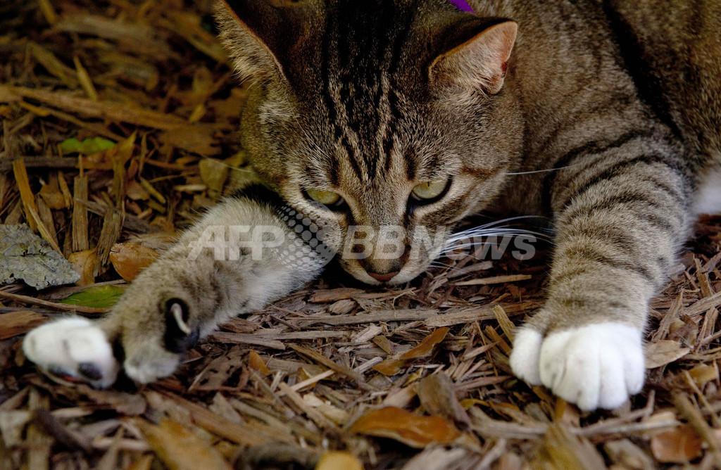 文豪ヘミングウェーが愛した6本指の猫、米フロリダ