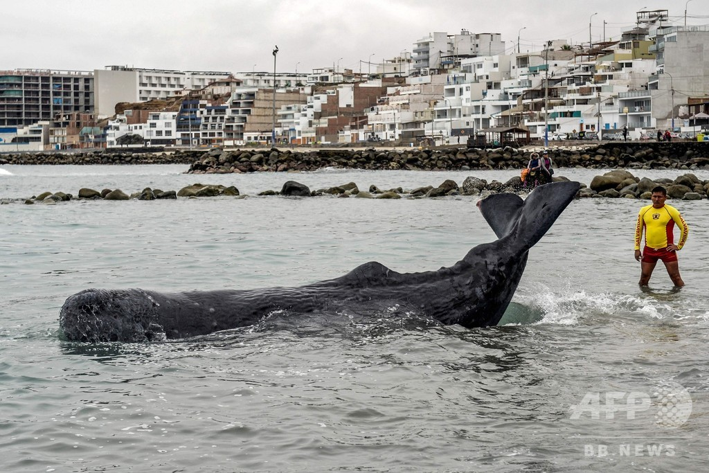 打ち上げられた体長5メートルのマッコウクジラ、救助される ペルー