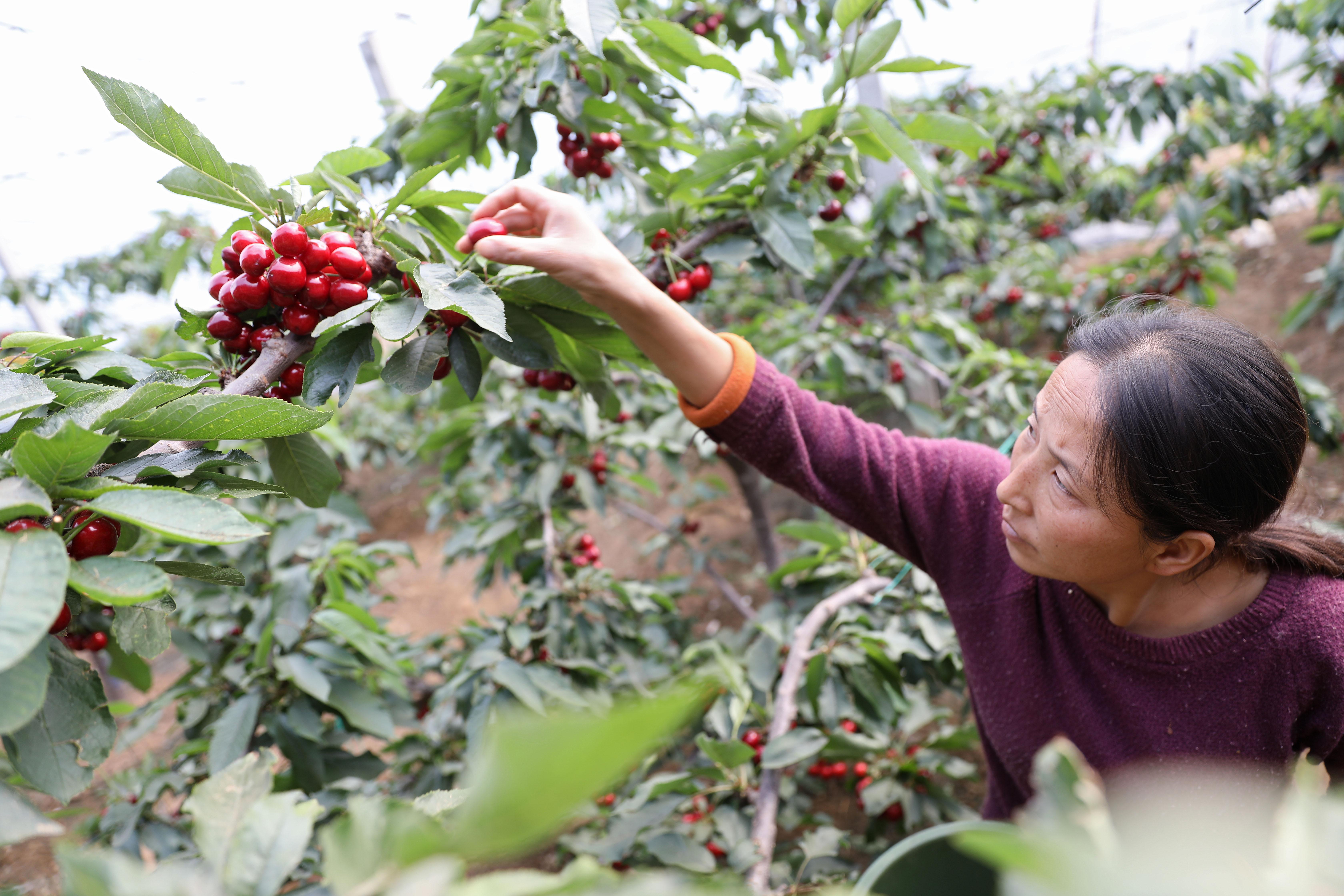 サクランボが収穫期に、新型ウイルスの損失からの復興も支援 中国・大連市
