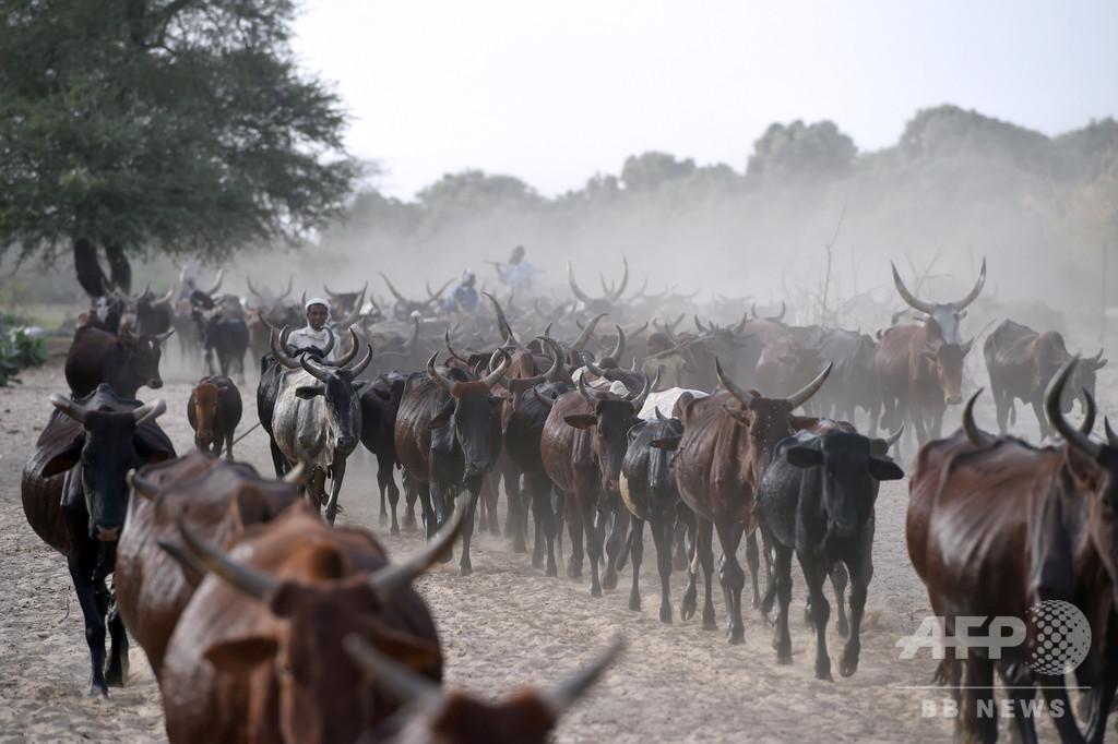 牛で多額の債務を返済、アンゴラにチャドの牛1000頭超が到着
