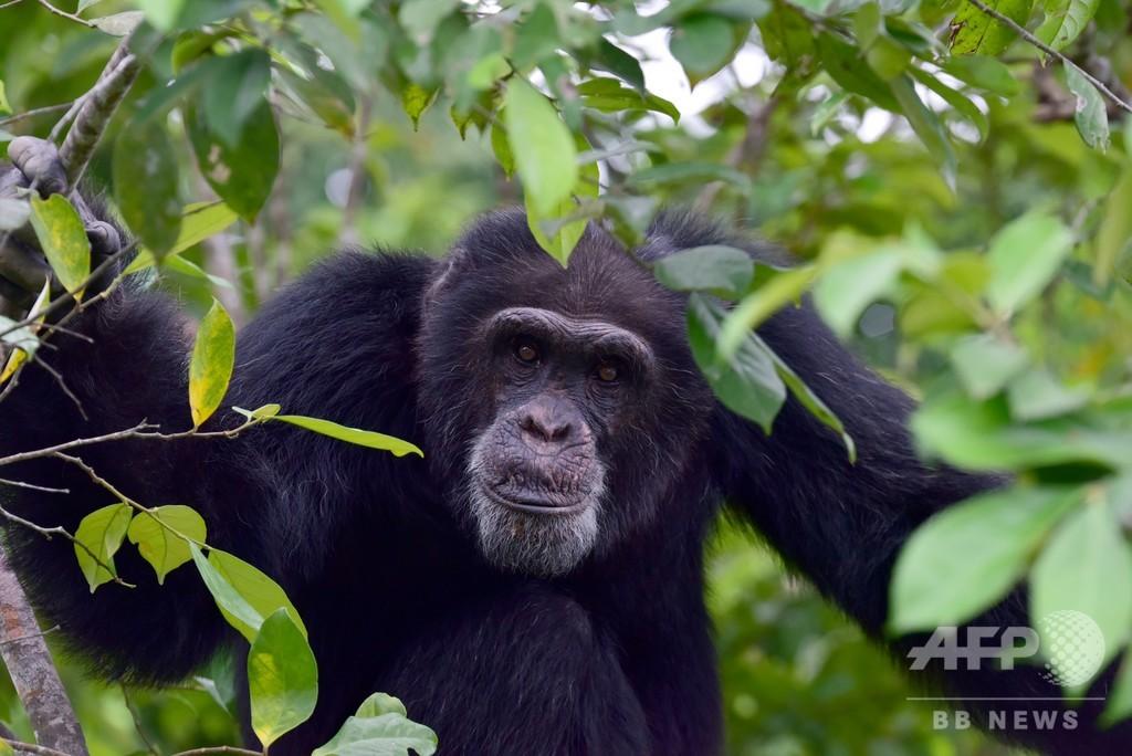 チンパンジーの「文化的多様性」、人間の影響で脅かされる 研究
