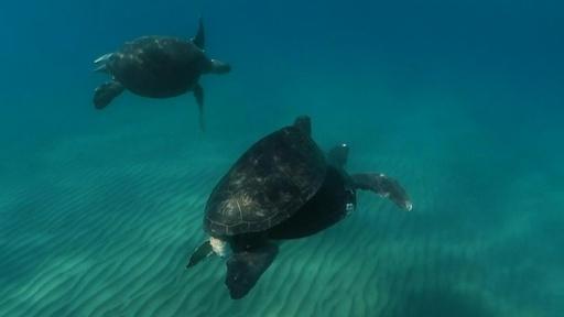 動画:プラごみ漂う海中で交尾、アカウミガメ 北キプロス沖