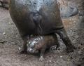 ちっちゃい! コビトカバの赤ちゃん、チリの動物園でお披露目