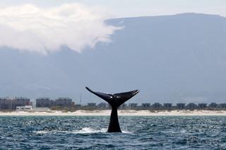 繁殖期のホッキョククジラ、自作曲を歌っていた 研究