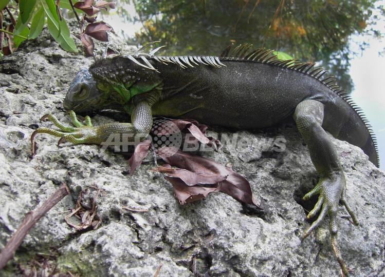 寒い!イグアナも木から落ちる フロリダ