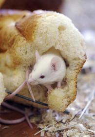 ネズミ、1万5000年前の人の定住地に出没か 研究