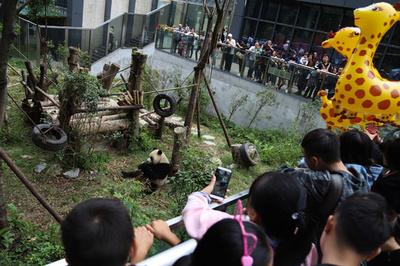 四川の「パンダ基地」、2時間待ちで観覧5分 中国の大型連休中
