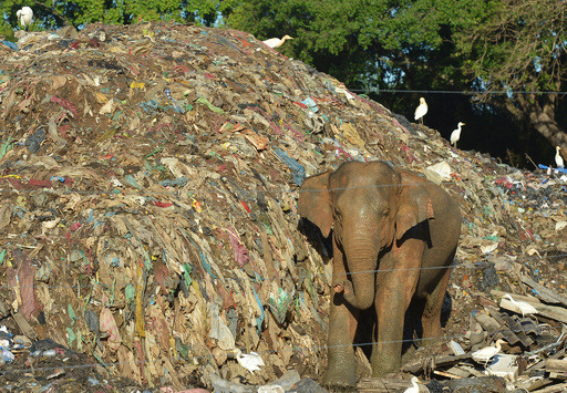 ごみをあさる「国の宝」のゾウ、多くは病気に スリランカ