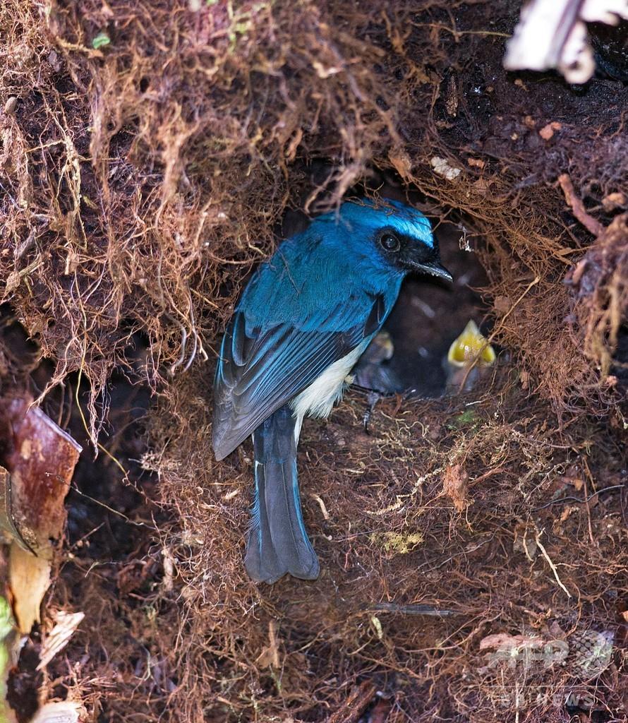 熱帯の鳴鳥、繁殖減らして干ばつ生き抜く 研究