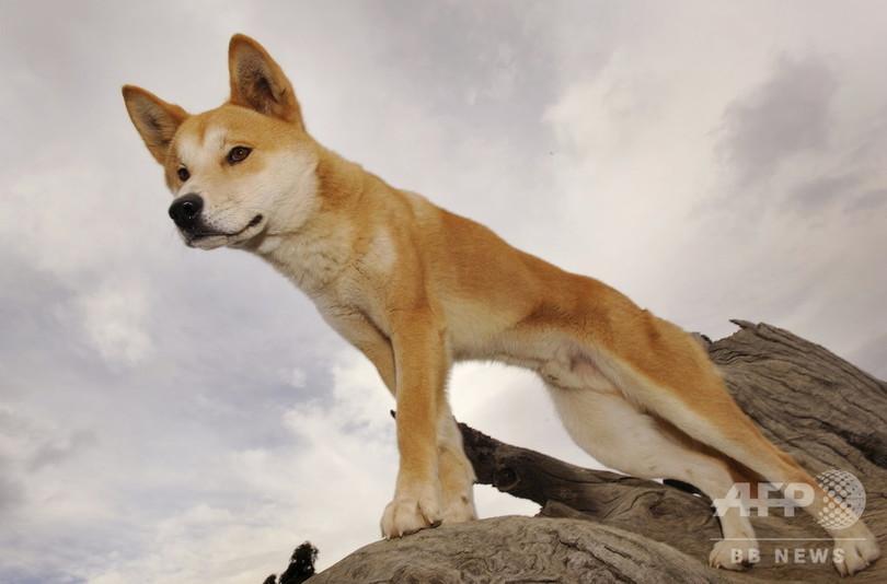 ディンゴは犬ではなく独自の種、豪研究者らが保全策の見直し求める