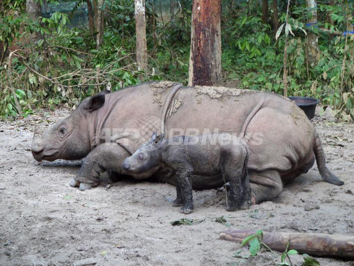 絶滅危惧種スマトラサイの赤ちゃん誕生、名前の意味は「神からの贈り物」
