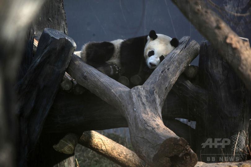 パンダはカウチポテト族?省エネレベルはナマケモノ並み 中国研究