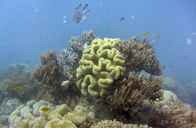 サンゴの一部に温暖化適応DNA、個体数回復に期待も 研究