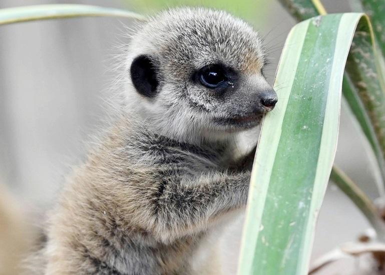 ひとりで立てるもん、ミーアキャットの赤ちゃん 独動物園