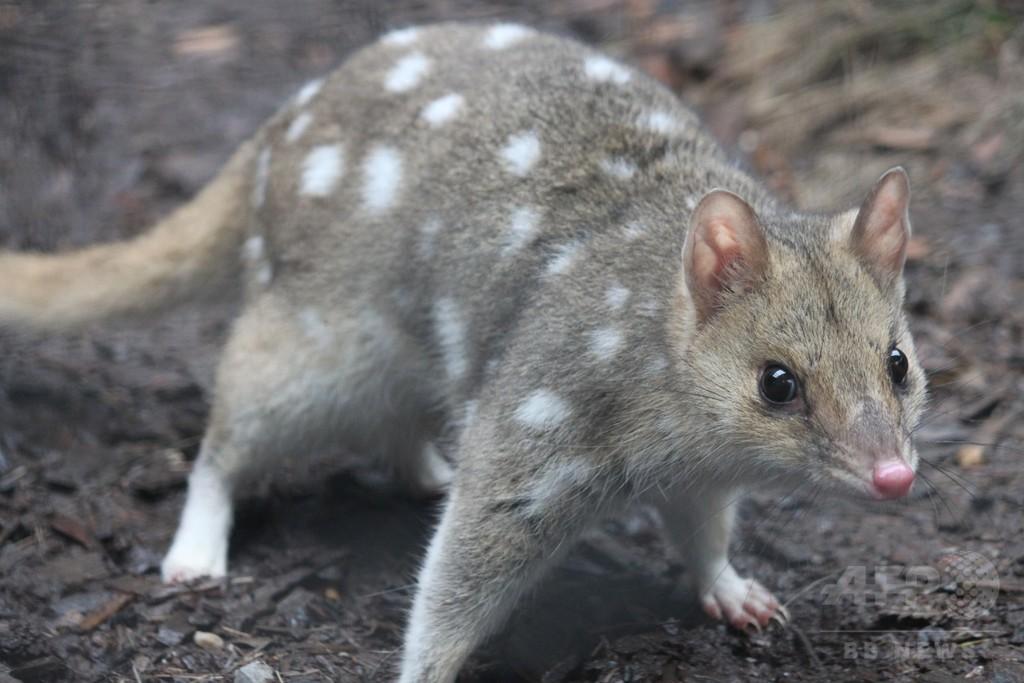 野生のフクロネコの赤ちゃん、オーストラリア本土で50年ぶりに誕生