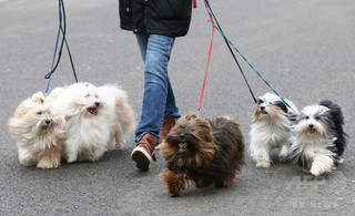 犬の心臓病リスク、夏生まれで高く 研究