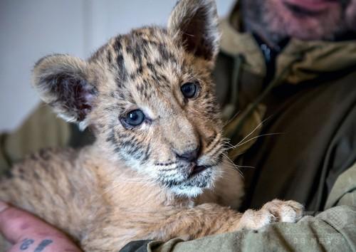ライオンとトラから生まれた「ライガー」、ロシアの動物園で誕生