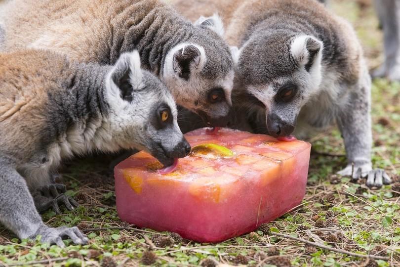 美味しい氷で暑さもへっちゃら?イスラエル動物園