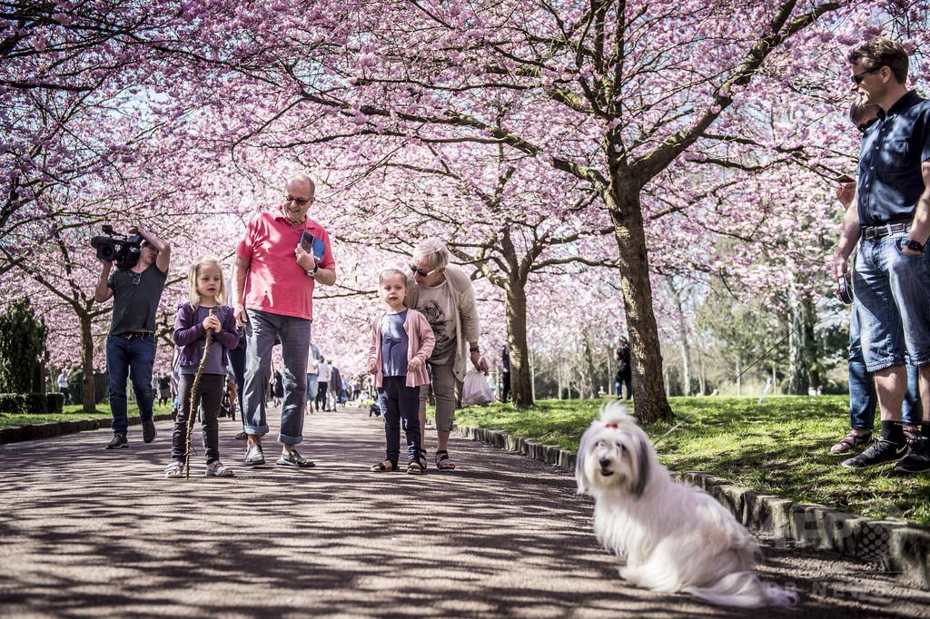 デンマークで日本の桜が満開に