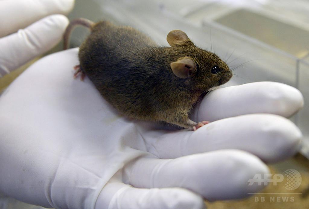 ネズミを調教してコカイン運搬、ブラジル刑務所