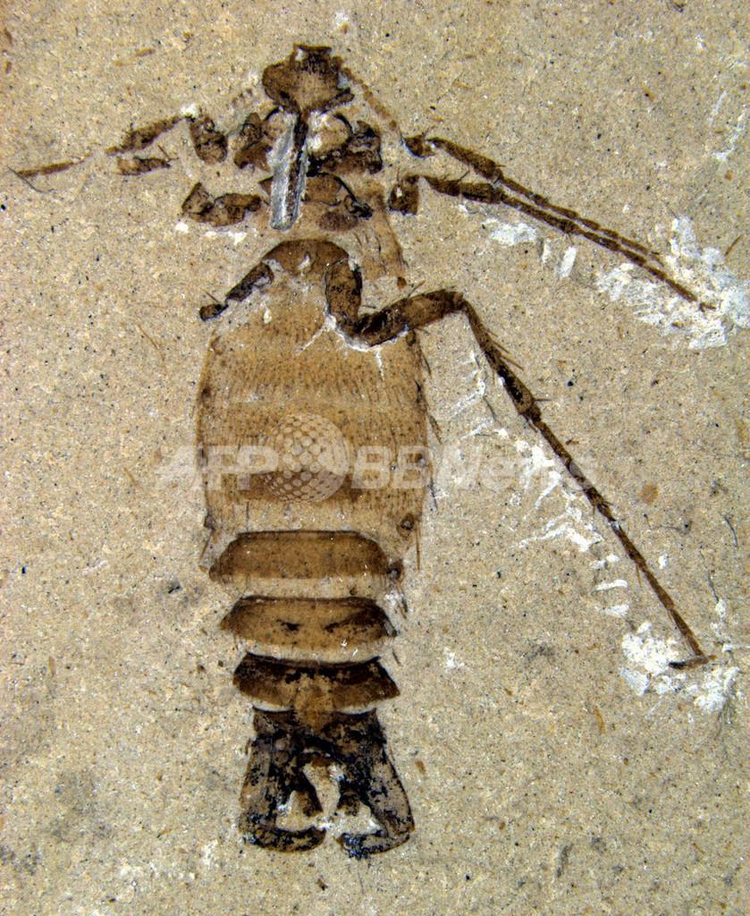恐竜時代の巨大ノミ、体長2センチの化石発見 中国