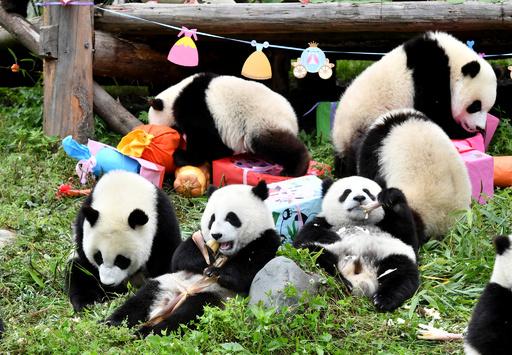 かわいさ18倍! 昨年生まれた子パンダ18頭の誕生日パーティー