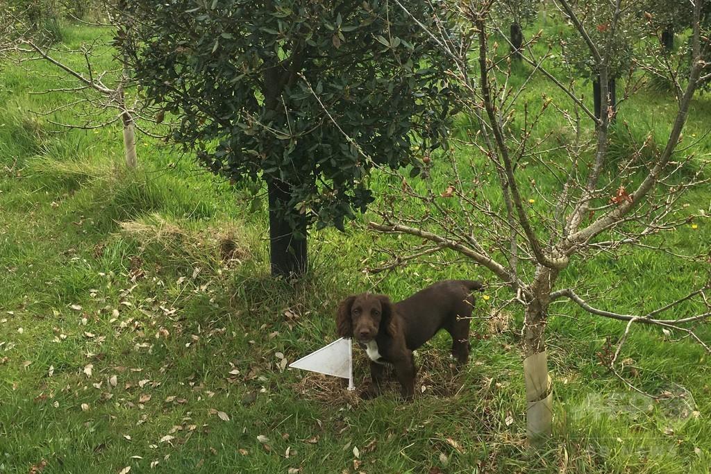 高級黒トリュフ、英国での栽培に初成功 気候変動影響か