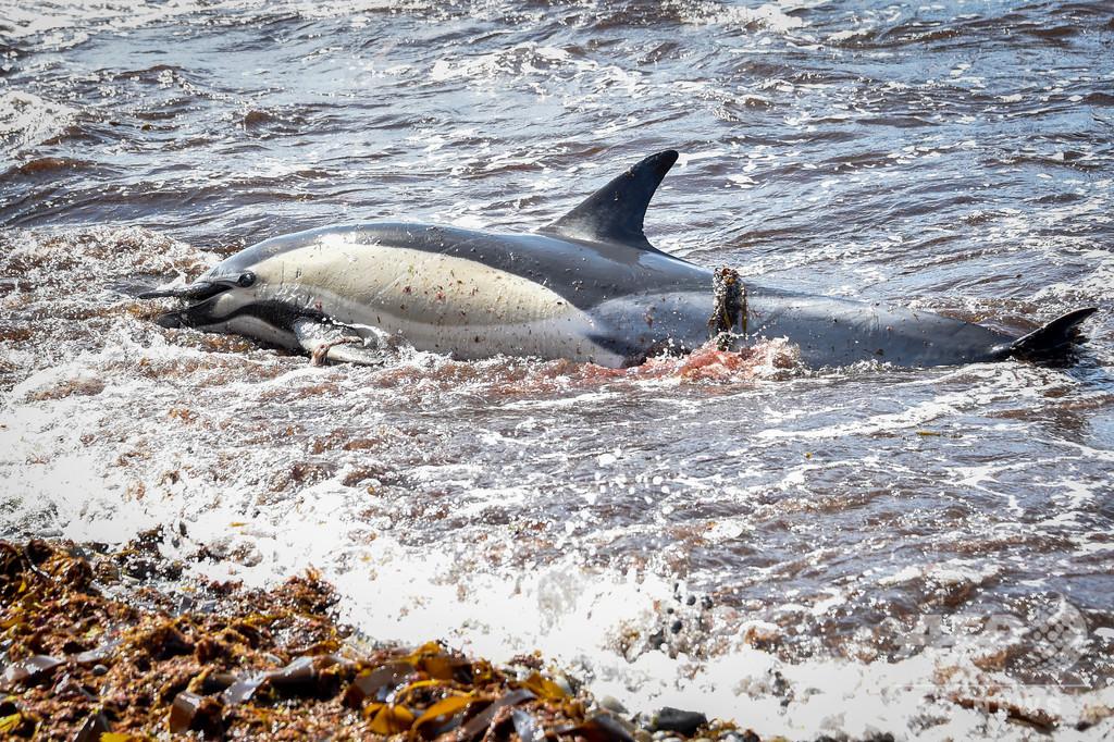 仏大西洋沿岸でイルカの死骸が急増、数か月で約1200頭