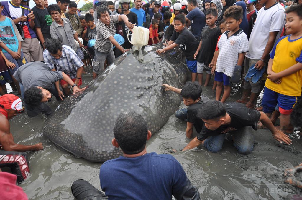 打ち上げられたジンベイザメ、地元住民らが懸命の救出活動 インドネシア