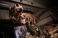 カナダで発見のT・レックス、世界最大と判明 体重8800キロ超