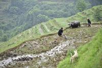 水牛と共に伝統の田起こし 農耕作業に追われる5月連休、貴州省