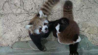 動画:より近くで動物たちを観察 重慶の室内動物園