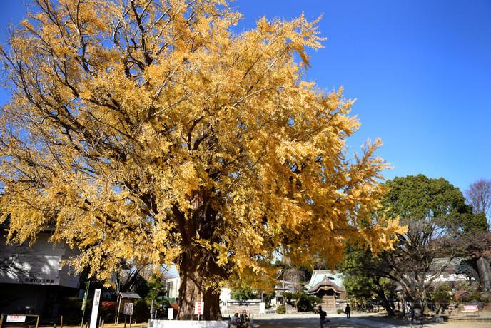 晩秋の空に大イチョウ、古刹の境内を彩る 神奈川