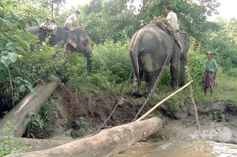 働くアジアゾウ、野生捕獲個体は早死に 研究