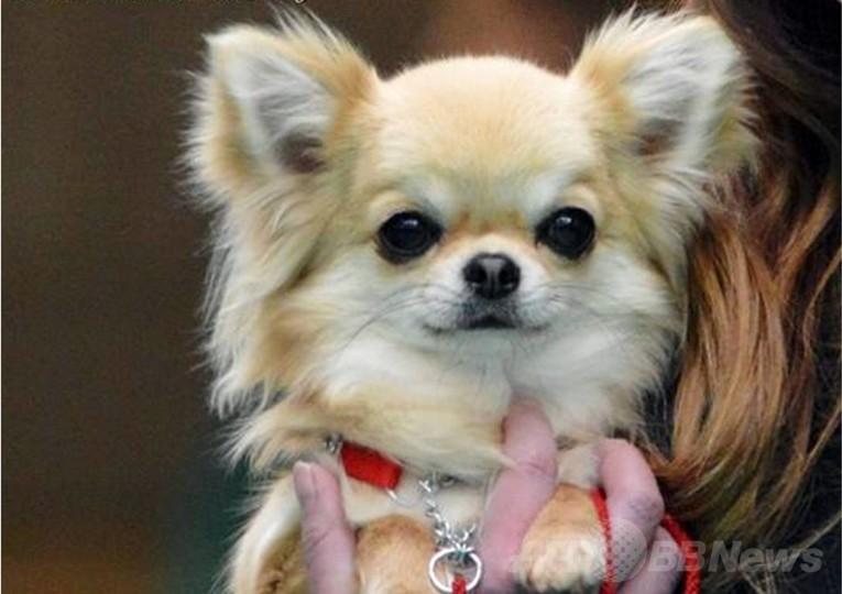 ドッグショー受賞犬、強盗に連れ去られる 英国