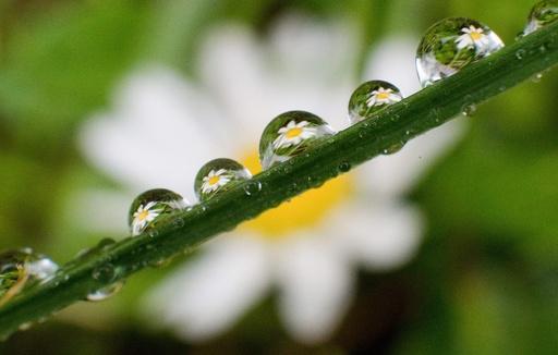 空からの贈り物? 雨粒にヒナギクの花 独